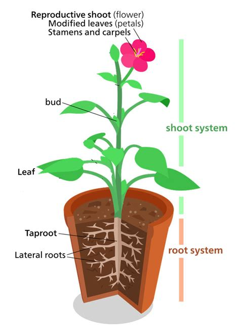 Plant Structure - (Information + Fun Facts) - Science4Fun