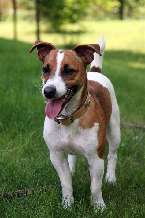 Jack Russell Terrier Dog Breed » Information, Pictures, & More