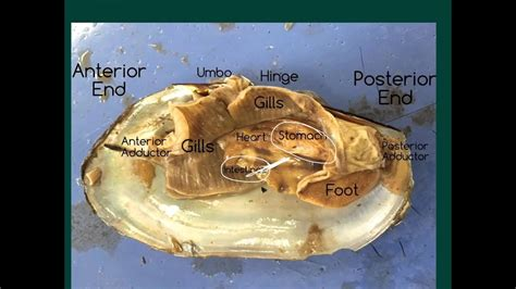 Mussel Dissection - YouTube