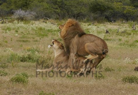 Buy Lions Mating Image Online - Print & Canvas Photos
