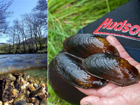 Growing mussels: Precious freshwater shellfish are